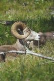 Canadensis Ovis, δύσκολα πρόβατα κέρατων βουνών μεγάλα, κριός Στοκ Φωτογραφίες