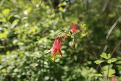 Canadensis rosso orientale di Aquilegia di colombina Immagini Stock Libere da Diritti