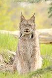 Canadensis van de lynx, het zitten stock afbeeldingen