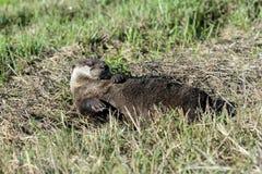 Canadensis van Lontra, rivierotter Royalty-vrije Stock Foto's