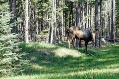 Canadese Amerikaanse elanden Stock Afbeeldingen