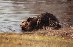 Canadese Bever Stock Foto's