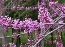Canadese Cercis is een mooie sierboom Stock Fotografie