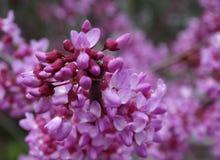 Canadese Cercis is een mooie sierboom Stock Foto's