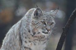 Canadese d'inseguimento Lynx Immagini Stock Libere da Diritti