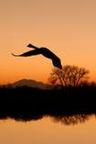 Canadese Gans die bij Zonsondergang vliegt stock foto