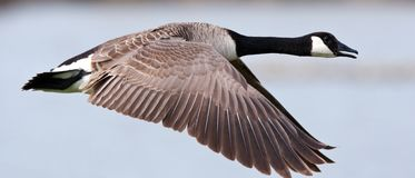 Canadese Gans; Greater Canada Goose, Branta canadensis royalty free stock images