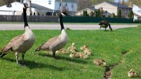 Canadese gans met kuikens, ganzen met gansjes die in groen gras in Michigan tijdens de lente lopen Stock Afbeelding