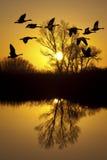 Canadese Ganzen bij Zonsondergang Stock Foto