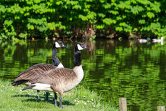Canadese ganzen in de zon Royalty-vrije Stock Afbeelding