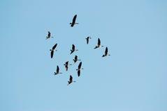 Canadese ganzen die aan Canada voor de zomer migreren Royalty-vrije Stock Afbeeldingen