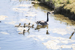 Canadese goose with chicks Royalty Free Stock Image