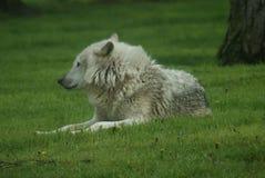 Canadese Houtwolf - Canis lycaon Royalty-vrije Stock Afbeeldingen