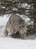 Canadese Lynx Fotografia Stock Libera da Diritti