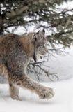 Canadese Lynx Immagini Stock