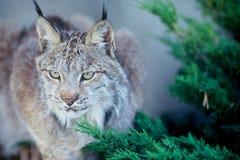 Canadese lynx Stock Fotografie