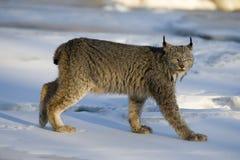 Canadese lynx, Lynxcanadensis Stock Afbeeldingen