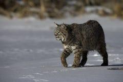 Canadese lynx, Lynxcanadensis Royalty-vrije Stock Afbeeldingen