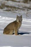 Canadese lynx, Lynxcanadensis Stock Afbeelding