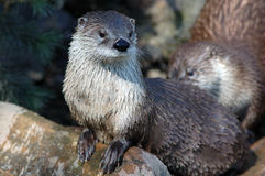 Canadese rivierotter (canadensis Lutra) royalty-vrije stock afbeelding
