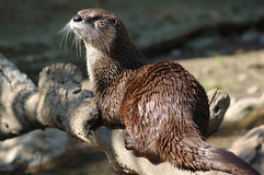 Canadese rivierotter (canadensis Lutra) Stock Foto's