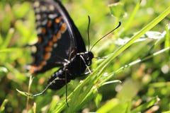 Canadese Tiger Swallowtail su un fondo dell'erba Chiuda sulla macro immagini stock libere da diritti