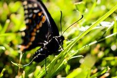 Canadese Tiger Swallowtail su un fondo dell'erba Chiuda sulla macro fotografie stock libere da diritti