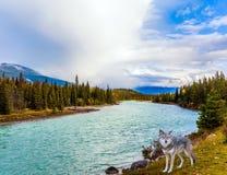 Canadese wolf op het meer stock afbeeldingen