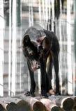 Canadese zwarte wolf Royalty-vrije Stock Foto