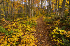 Canadian autumn forest Royalty Free Stock Photography