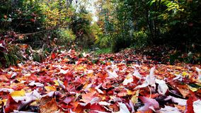 Canadian Autumn Leaves Stock Photo