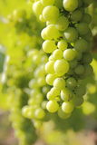 Canadian Bacchus Grapes Stock Images