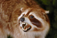 Canadian Badger. A portrait of a Canadian Badger (Taxidea taxus) snarling Royalty Free Stock Photography