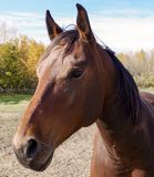 Canadian Barrel Racing Horse. Closeup of Rodeo barrel racing horse on Canadian farm stock photo