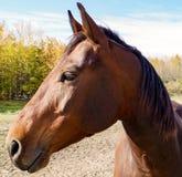 Canadian Barrel Racing Horse. Closeup of Rodeo barrel racing horse on Canadian farm royalty free stock photos