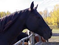 Canadian Barrel Racing Horse. Closeup of Rodeo barrel racing horse on Canadian farm Royalty Free Stock Image