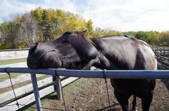 Canadian Barrel Racing Horse Royalty Free Stock Image