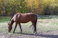 Canadian Rodeo Barrel Racing Horse. Rodeo barrel racing horse on Canadian farm on Autumn morning stock image