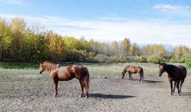 Canadian Barrel Racing Horses. Rodeo barrel racing horses on Canadian farm on Autumn morning Royalty Free Stock Images