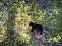 Canadian bear. A bear in western Canada Royalty Free Stock Photo