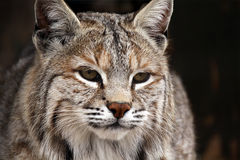 Canadian Beauty. Closeup of a Bobcat watching something Royalty Free Stock Images