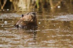 Canadian Beaver Stock Photos