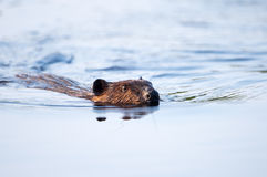 Canadian Beaver Royalty Free Stock Photos