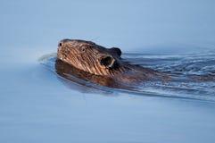 Canadian Beaver Stock Photo