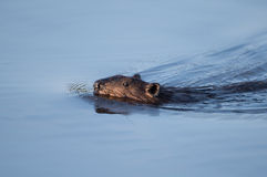 Canadian Beaver Stock Images