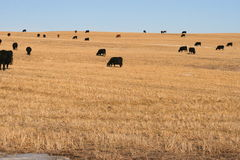 Canadian beef is here. Sample of prairie in alberta, neighborhood of rocky mountains in canada, blacks cows in winter Royalty Free Stock Photography