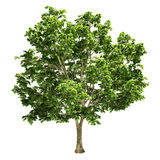 Canadian Big Maple Tree Isolated. On white Royalty Free Stock Photos