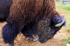 Canadian bison royalty free stock images