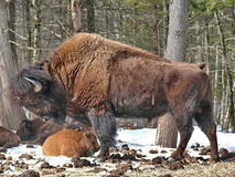Canadian Bison in winter. Royalty Free Stock Photo