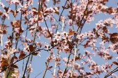 Free Canadian Black Plum Prunus Nigra Light Pink Flowers In Bloom, Beautiful Flowering Ornamental Shrub With Brown Red Leaves Royalty Free Stock Photos - 214091868